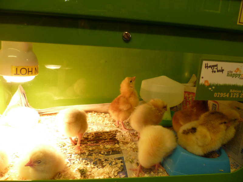 Chicks - our fluffy friends